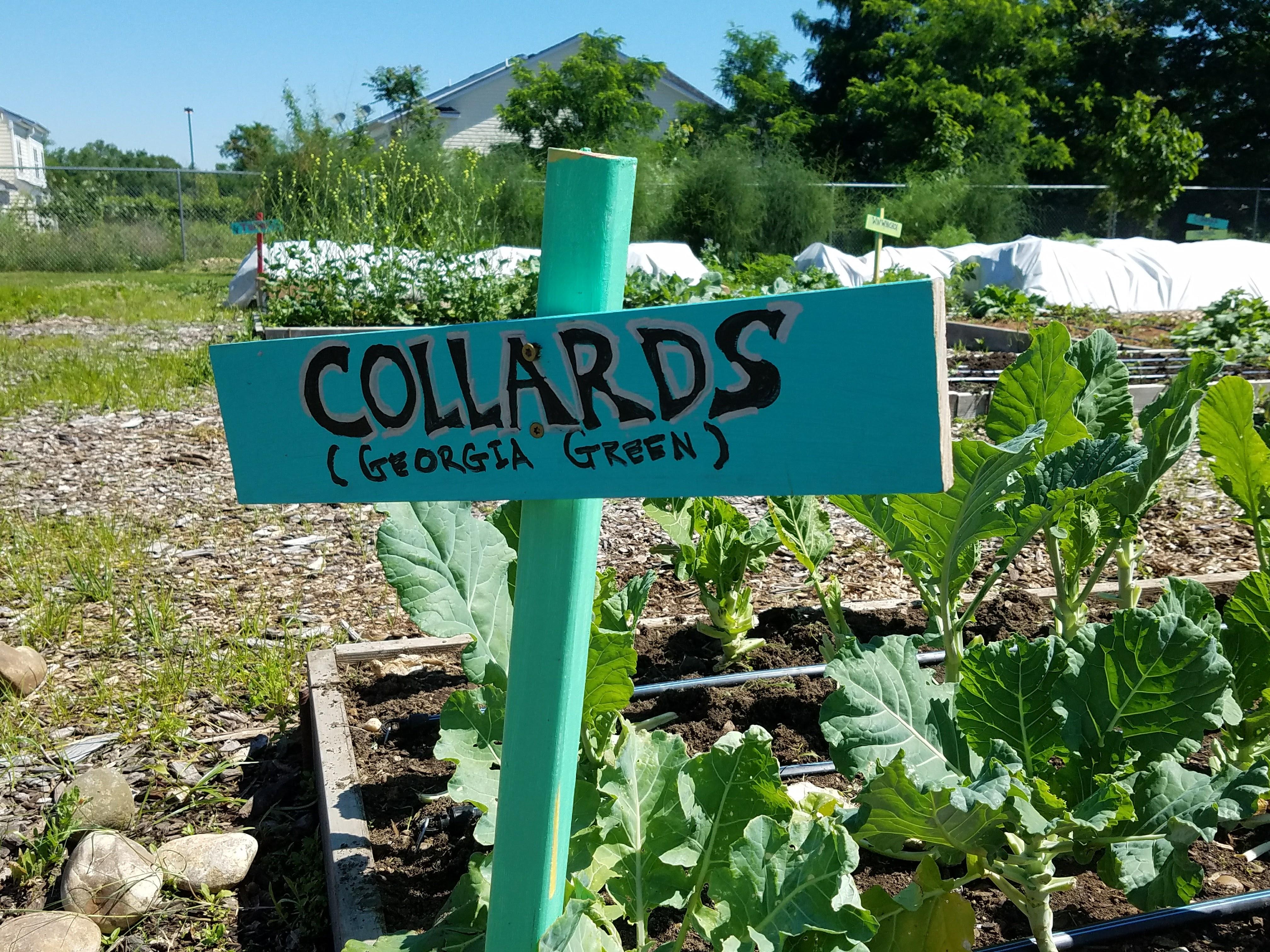 CAFB grows organic produce like Georgia Green Collards in its Urban Demonstration Garden.
