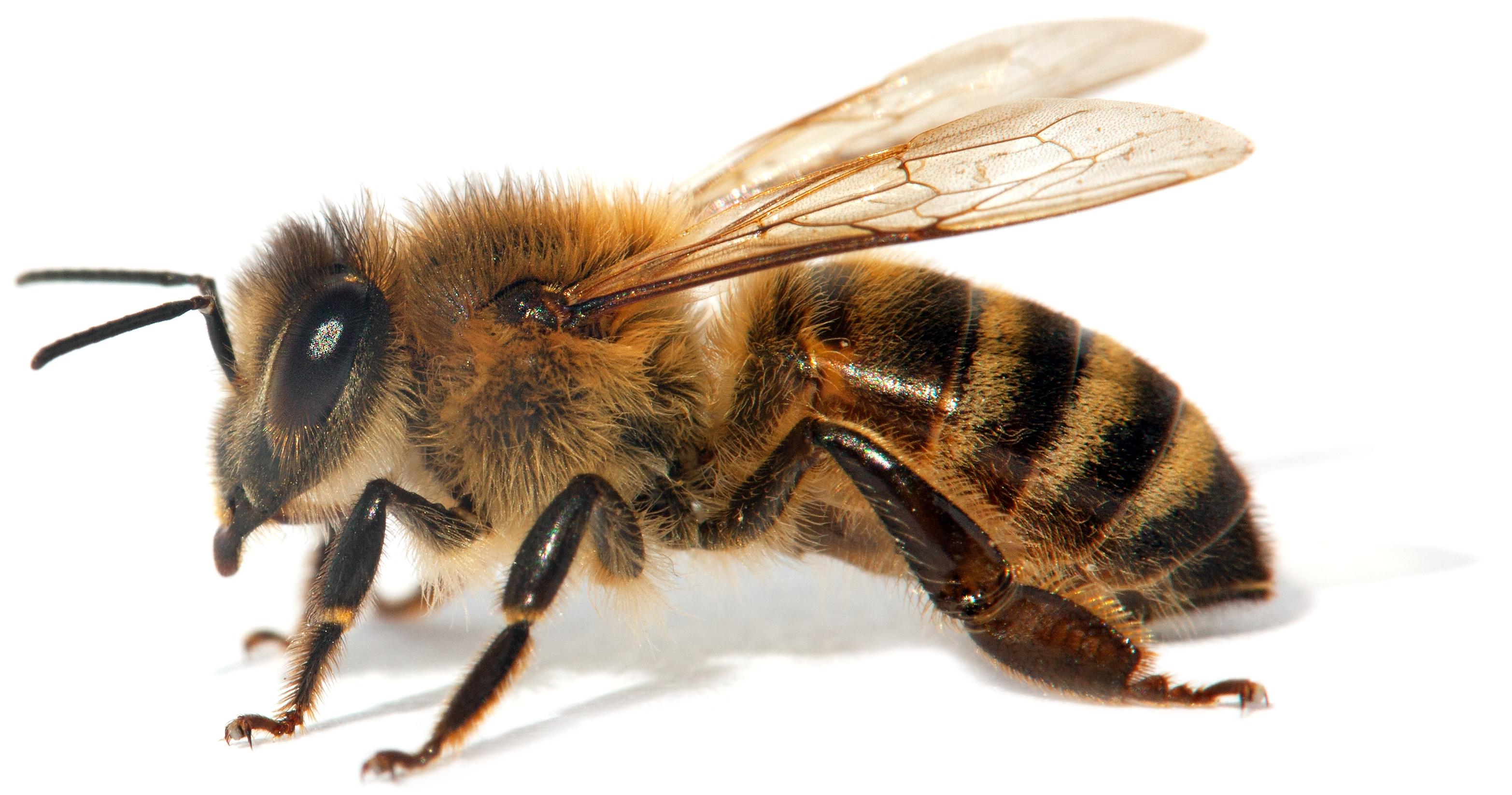 honeybee closeup