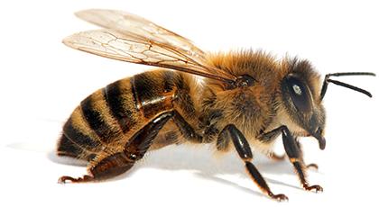 honeybee spotlight