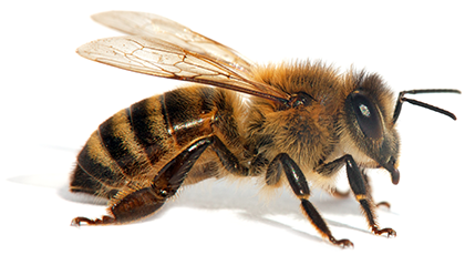 honeybee spotlight